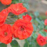 バラに発生する虫の予防法や薬剤について
