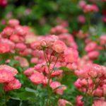 薔薇の葉っぱの食害について。虫の種類や対策法は!?