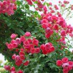 バラの薬剤散布について。どれくらいの頻度で行うの?