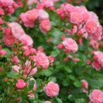 バラの病気。黒点病の治療法や予防方法について