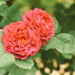バラの病気!うどんこ病の原因・治療・予防法について