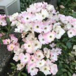 薔薇の種類バレリーナの育て方について