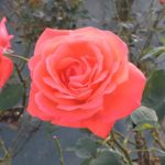 バラの実からの種の取り方について