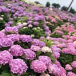 紫陽花の土の作り方について。配合によって色が変わる!?