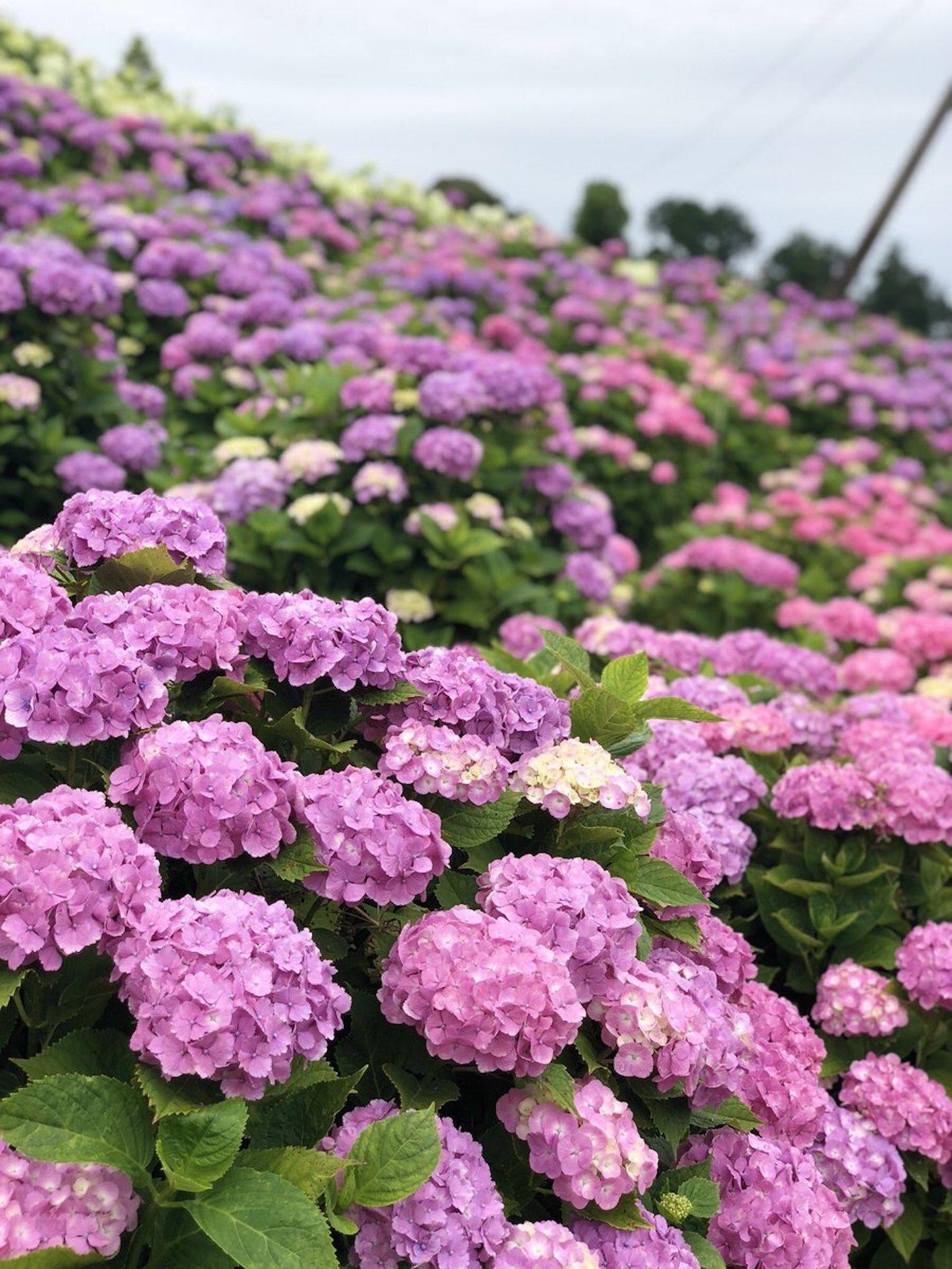 紫陽花 土 作り方 配合