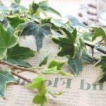 観葉植物アイビーの風水的な効果とは!?