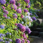 紫陽花の切り花を長持ちさせるお手入れ方法やコツについて