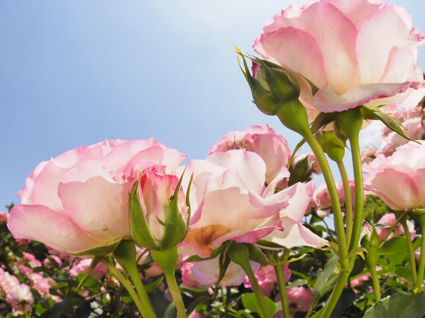 バラ 花びら 斑点