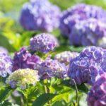 アジサイの葉に起こりやすい病気の種類について