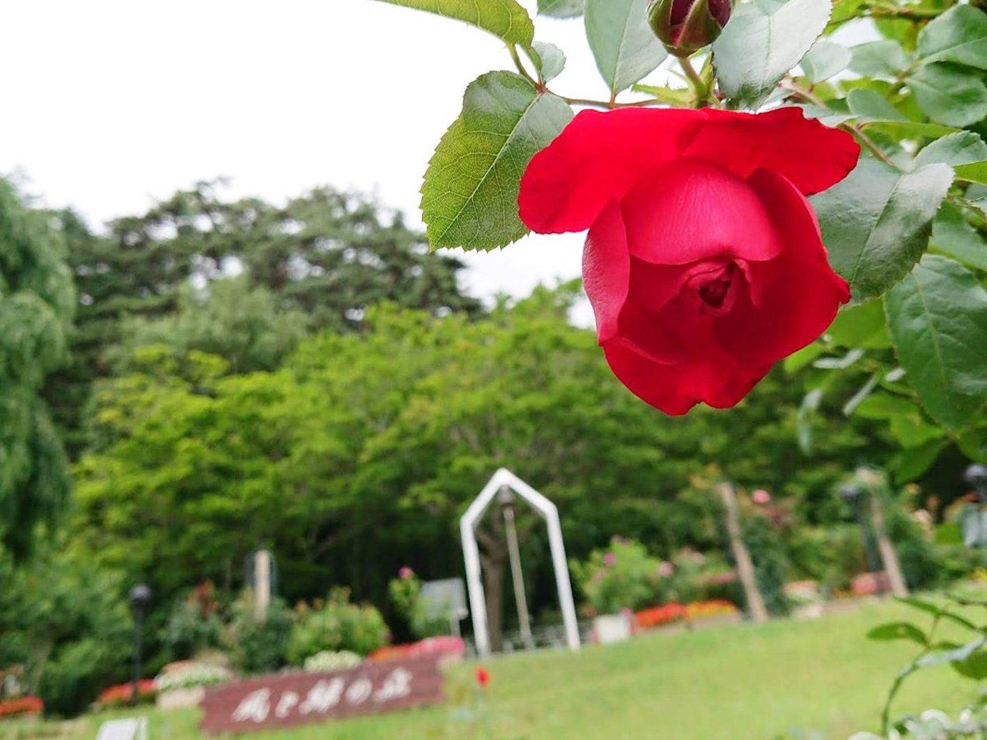 バラ 花がら摘み 方法