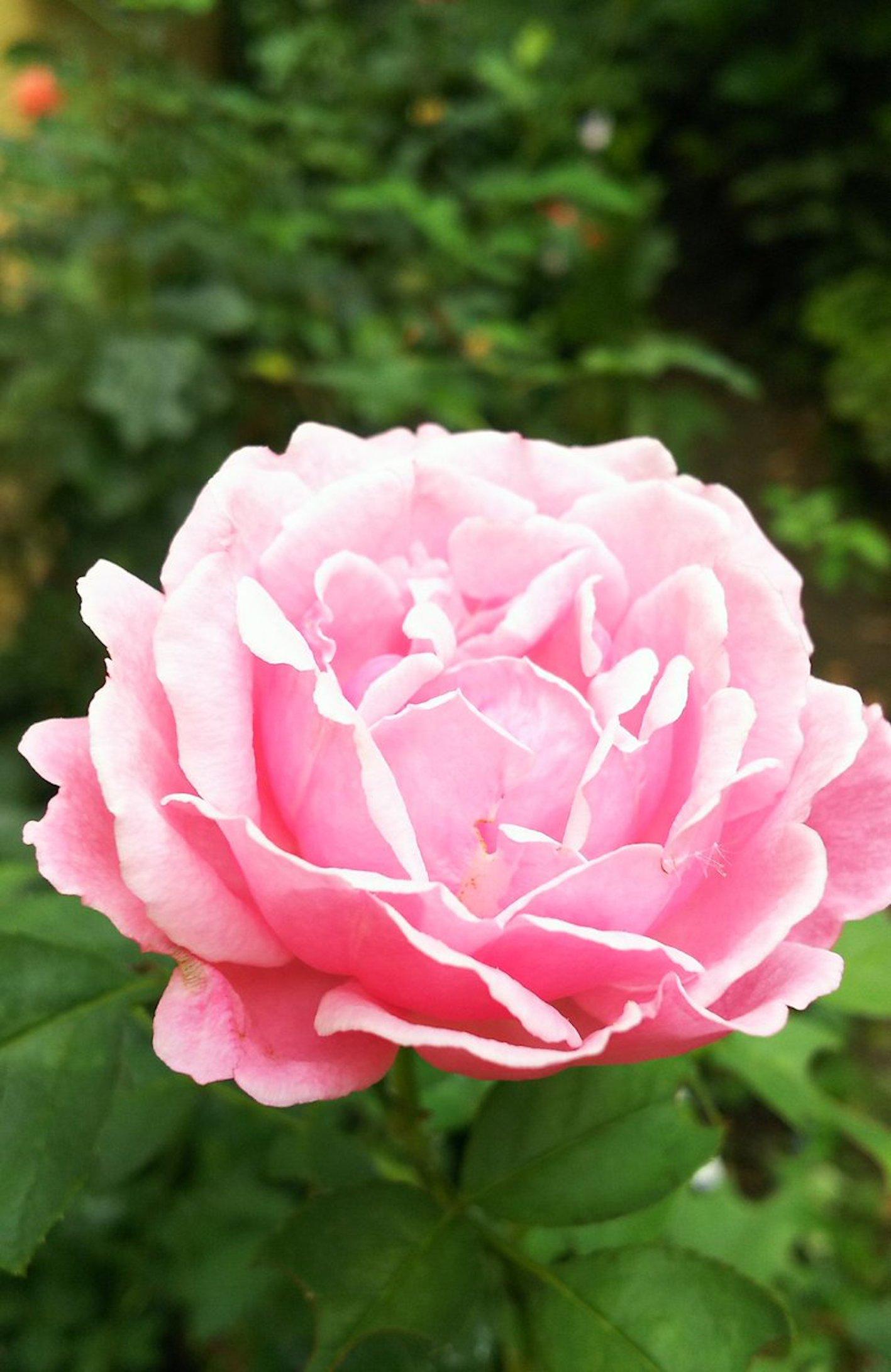 薔薇 棘 なし