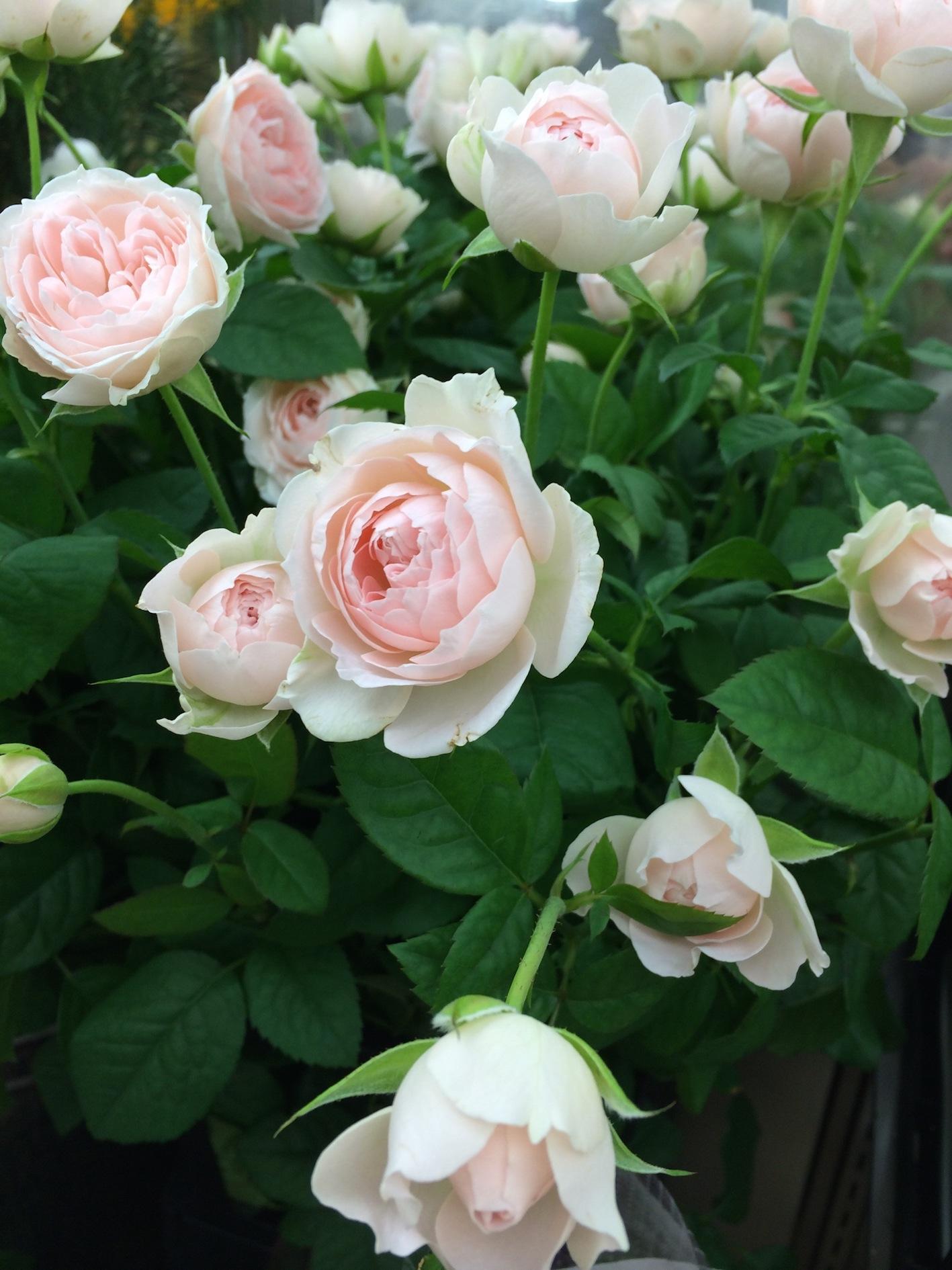 バラ 四季咲き 種類