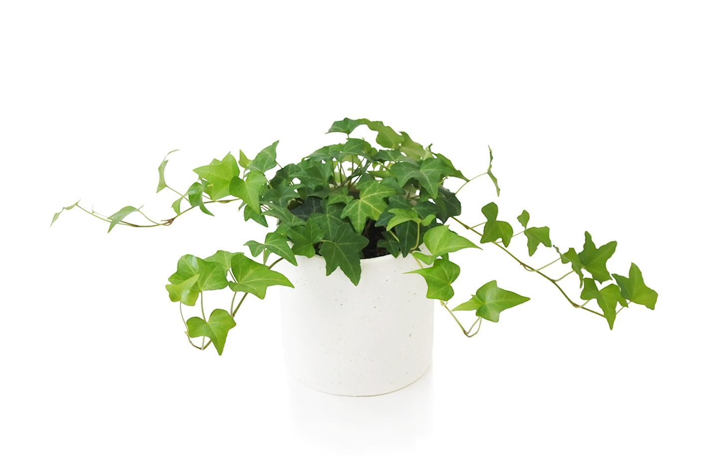 アイビー プランター 育て方 寄せ植え