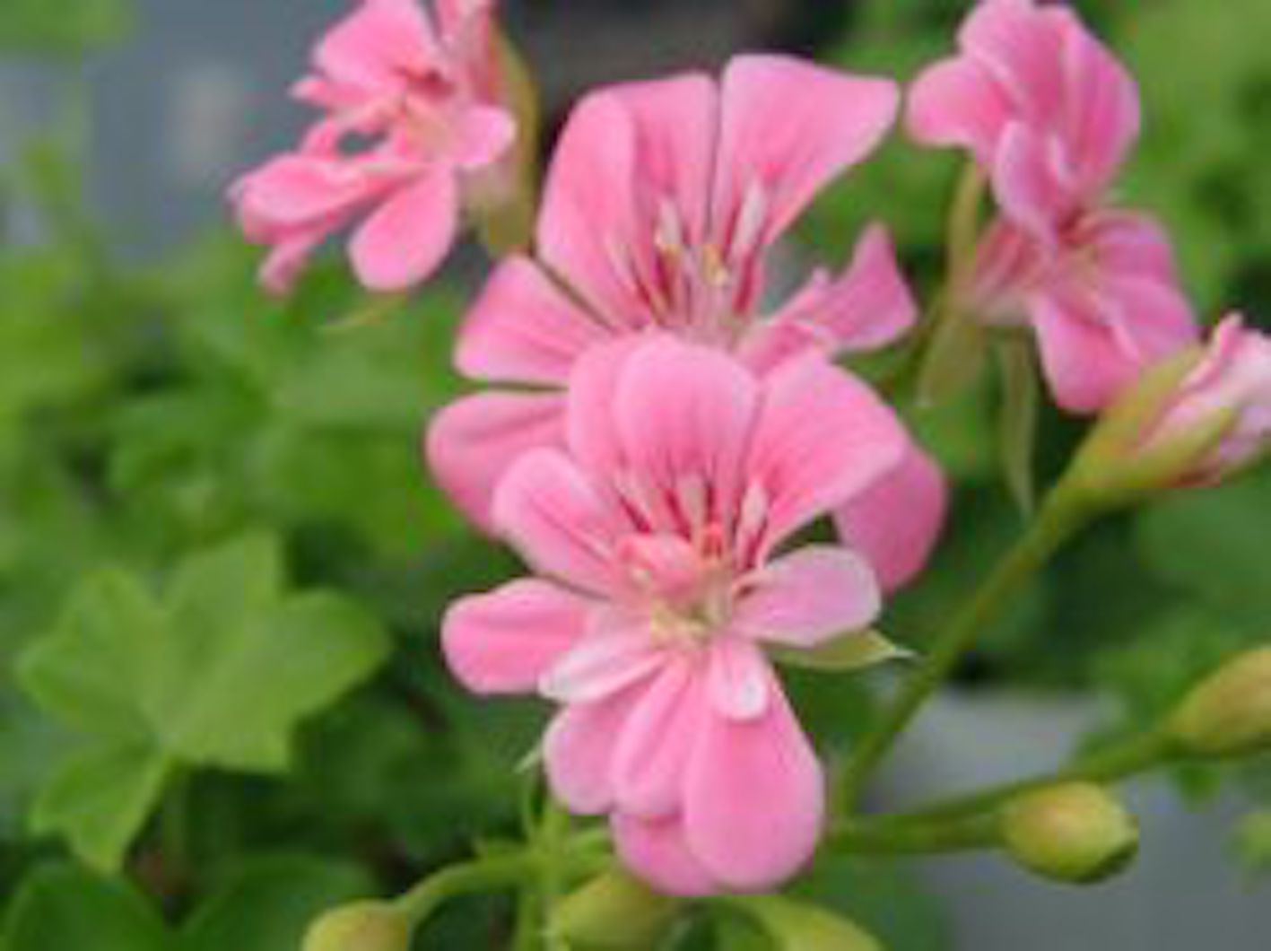 ゼラニウム ピンク 品種 名前
