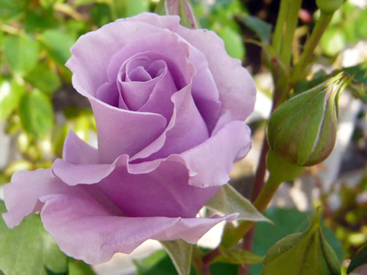 バラ 紫 品種