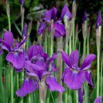 多賀城あやめ祭り開花状況や見頃の時期について