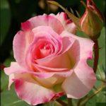 バラの種類の簡単な見分け方について