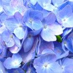 紫陽花の種類「万華鏡」の育て方や地植え方法について