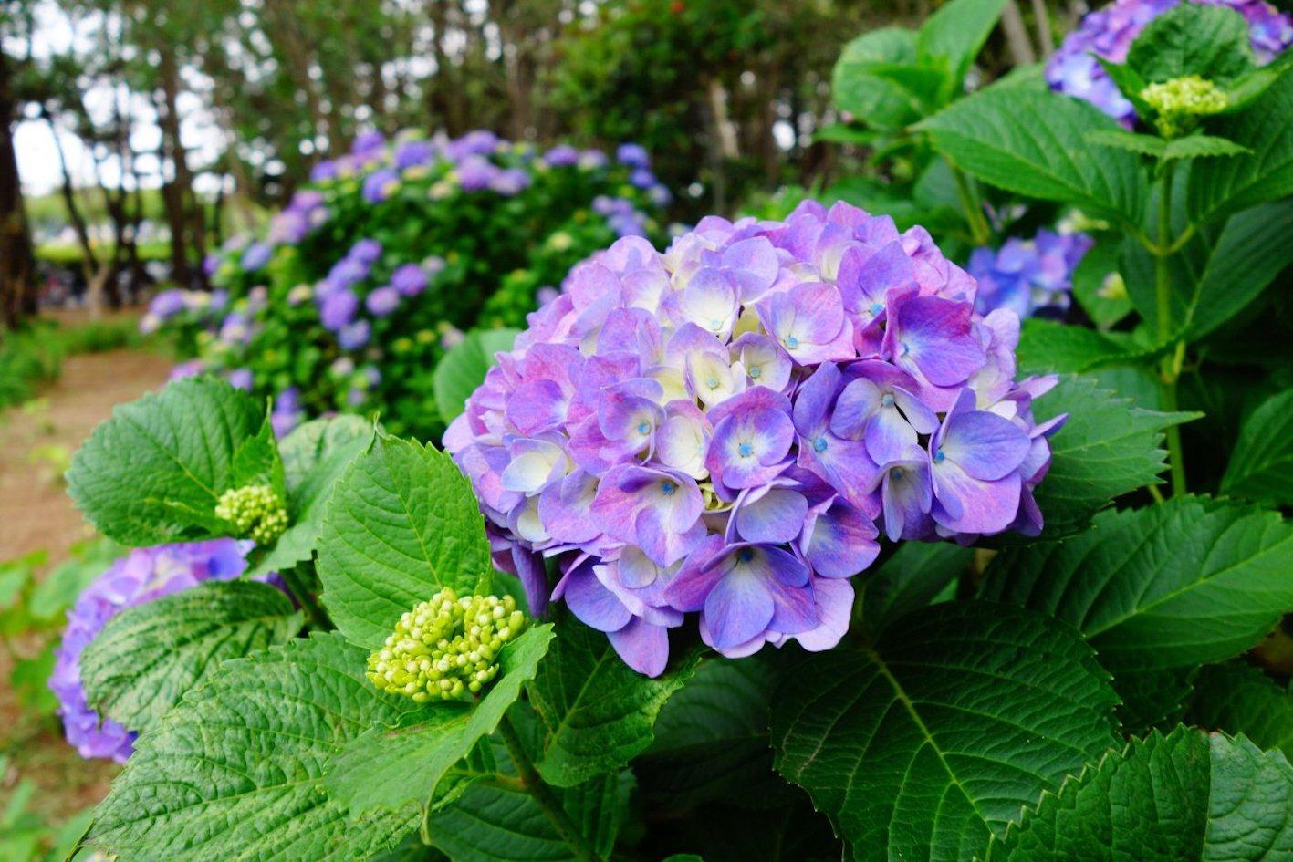 紫陽花 地植え 時期 間隔 深さ