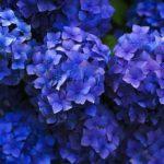 色が変わる紫陽花カメレオンの育て方は!?