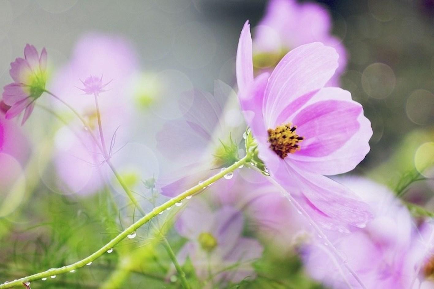 コスモス 値段 花 種