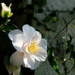 椿の苗からの育て方や植え方について