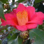 椿の発芽の時期や方法、コツについて教えます!