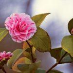 椿の鉢植えの育て方やお手入れ方法について