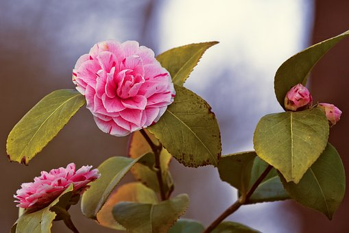 椿 鉢植え 育て方 手入れ 剪定