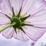 コスモスの花が咲かない原因は何!?