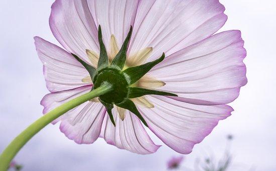 コスモス つぼみ 咲かない