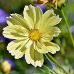 コスモスの花びらの特徴や枚数について