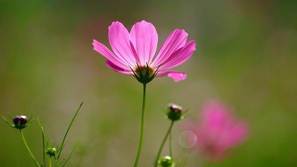 コスモス 種類 ピンク