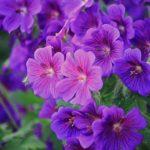 ゼラニウムの花や苗の販売価格はいくら!?