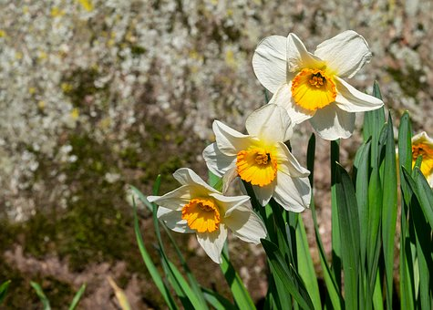 水仙 球根 花が咲かない