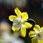 淡路島の水仙の見頃の時期や開花状況、アクセス方法について