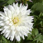 ダリアの花の開花の季節はいつ!?