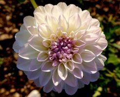 ダリア 花びら 数 花 サイズ