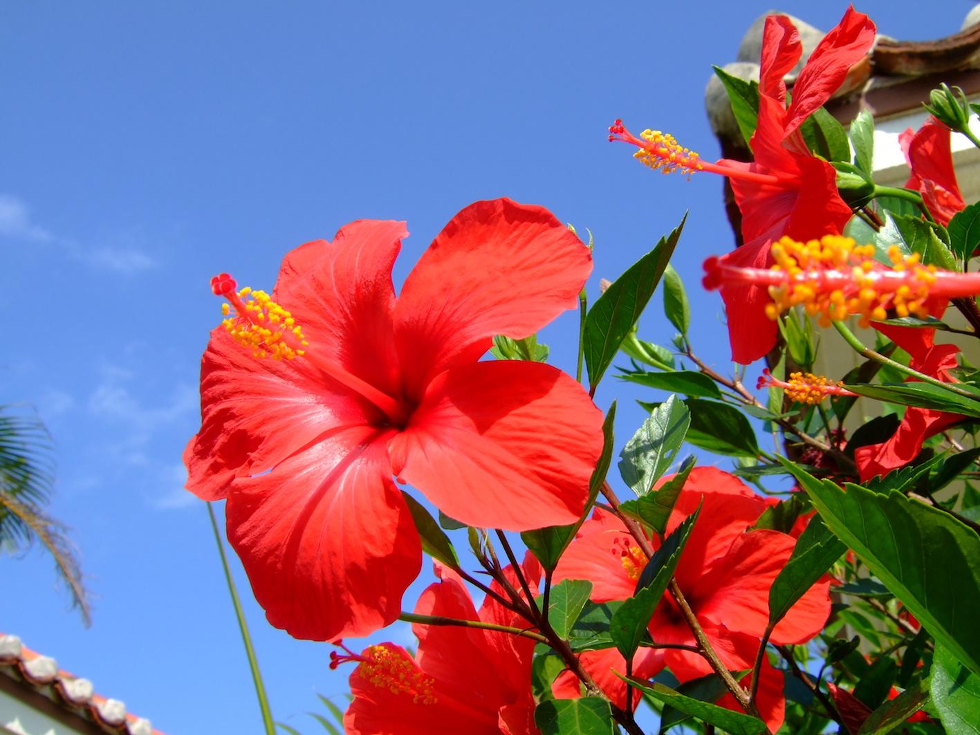 ハワイ ハイビスカス 種類