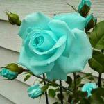 バラの花につく緑の虫の正体は!?対策方法は!?