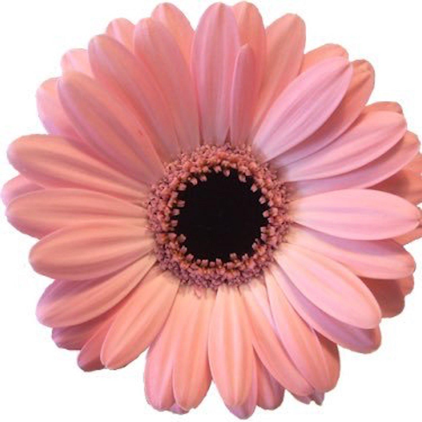 ガーベラ 切り花 種