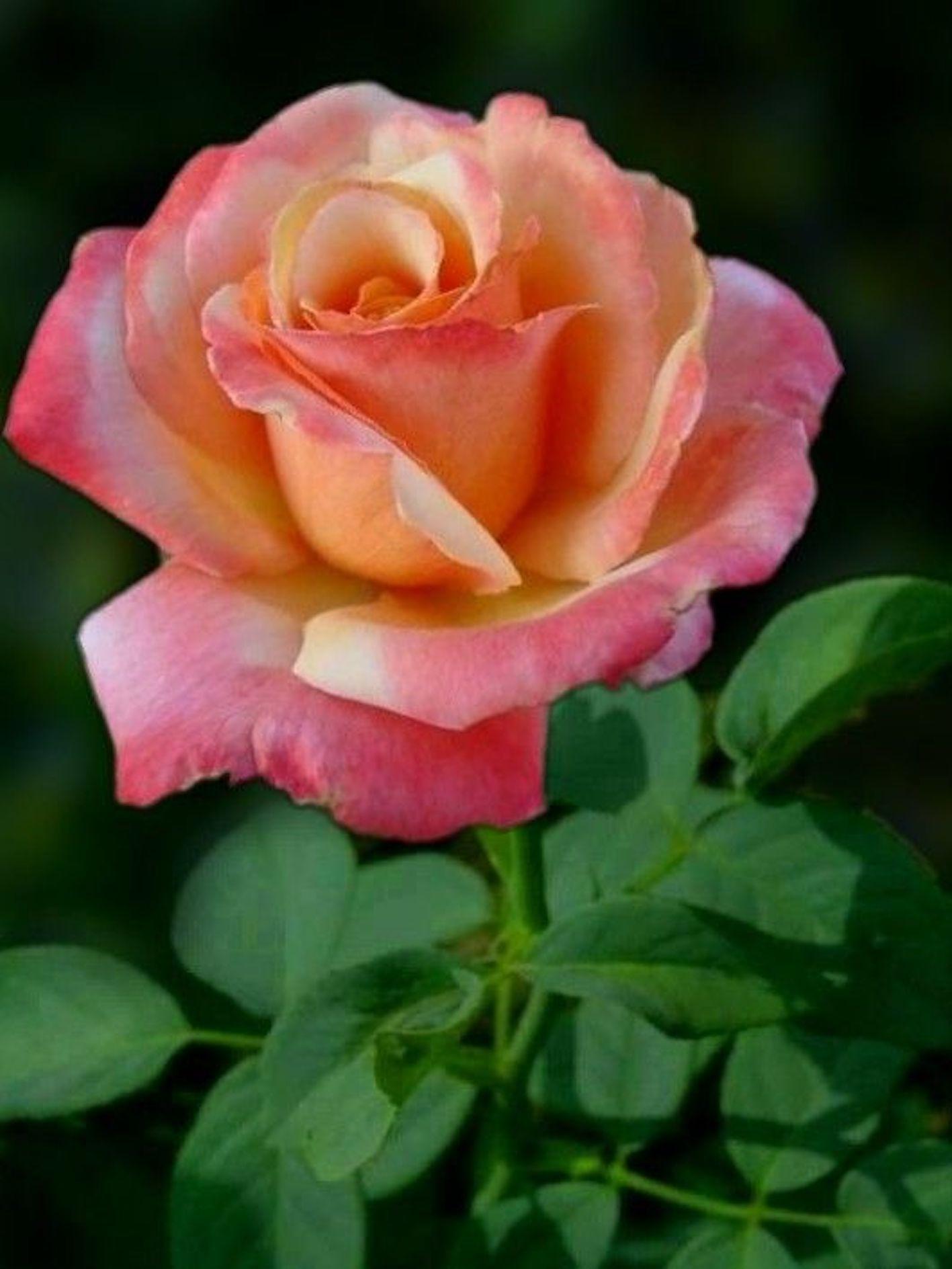 バラ 鉢植え 植え替え