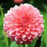 ダリアの花が咲かない原因とは一体何!?