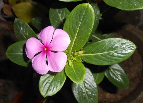 ニチニチソウ 種 芽が出ない