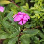 ニチニチソウの花を増やしたい!摘心の方法について