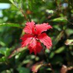 ハイビスカスの花や苗の販売価格はいくら!?
