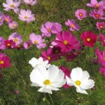 コスモスの押し花の作り方について。下処理方法は!?