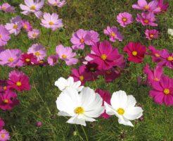 コスモス 押し花 作り方 下処理