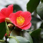 椿の鉢植えの植え替え方法について。適切な時期や用土は⁉︎
