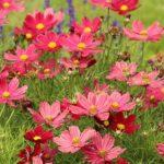 花も宇宙の名前もコスモスと呼ぶ理由とは!?